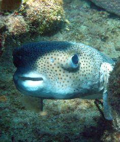 Spotfin burrfish in Sousa Bay DO North Coast, Diving, Rio, Pets, Animals, San Juan, Animales, Scuba Diving, Animaux