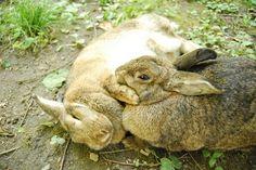 Perché i conigli sono lagomorfi e non roditori