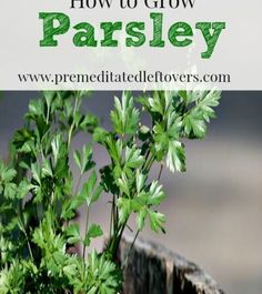 How To Urban Garden How to Grow Parsley- Parsley is easy to grow and can be used in a variety of recipes. Here are some helpful tips on how to grow parsley in your own garden. Indoor Vegetable Gardening, Hydroponic Gardening, Organic Gardening, Container Gardening, Garden Plants, Gardening Tips, House Plants, Balcony Gardening, Veg Garden