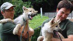 Citalie und Tobi, die 14 Wochen alten Wolfswelpen sind die neuen Stars im Zoo des Jülicher Brückenkopf-Parks.