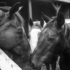 #cambridgefarms #knoxvillephotographer #sony #barn #horse #friends #blackandwhite