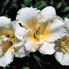 Ruffled Parchment Daylily