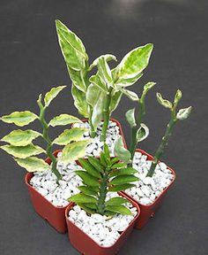Pedilanthus varieties