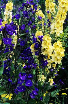 Anchusa azurea 'Loddon Royalist' with Verbascum 'Gainsborough'. Summer flower perennial blue yellow contrat colours May.