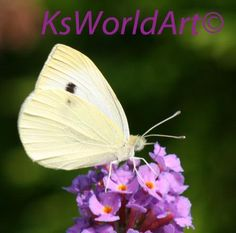 Cabbage White / plant list at site