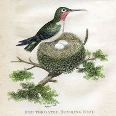 Antique Clip Art – Hummingbirds with Nest – Natural History