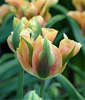 Green River Tulip Bulbs at Burpee.com  Buds start in green edges with rose, and transfer to pink edged with mango and green base. Miraculous and special.