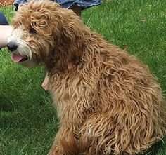 we are Liberty Labradoodles, breeders of fine multi-generational Australian Labradoodles. We are located in Yamhill County in Oregon on a five acre farm … Australian Labradoodle Puppies, Goldendoodle Puppy For Sale, Puppies For Sale, Dogs, Animals, Animales, Animaux, Pet Dogs, Doggies