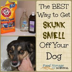 Dogs and skunks. They go together like peanut butter and jelly, right? At least my dogs think so. We've had more than a few run ins with skunks that leave the dogs stinking in a serious. Skunk Smell In House, Getting Rid Of Skunks, Skunk Spray, Dog Hot Spots, Dog Smells, Best Chicken Coop, Farm Dogs, Dog Food Storage, Dog Hacks