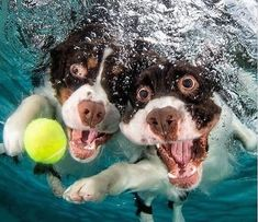 Underwater Dogs Is Back With More Funny Dog Pictures (shared via SlingPic) Animals And Pets, Funny Animals, Cute Animals, Funny Dog Pictures, Animal Pictures, Hilarious Photos, Perro Cocker Spaniel, Springer Spaniel, Underwater Dogs