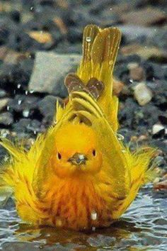 Yellow Warbler | A1 Pictures