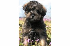 This is a Wookie Colored Teddy Bear Schnoodle!