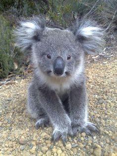 The cutest koala ever!!