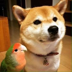 Shiba & Parrot...