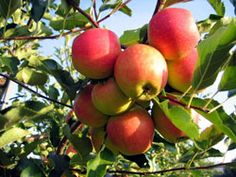 How do you prepare fresh apples for freezing?  I plan on making pies later. Selecting High-Quality Apples: If you're purchasing apples, fall offers the greatest selection. Choose ripe apples for freezing that feel firm and crisp in hand and have a bright color.