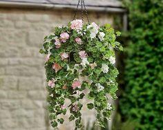 tanaman hias gantung berbunga pelargoniums