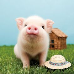 Can never go wrong with a little pig that looks like WILBERT🐖 Cute Baby Pigs, Cute Piglets, Baby Piglets, Cute Funny Animals, Cute Baby Animals, Animals And Pets, Farm Animals, Miniature Pigs, Teacup Pigs