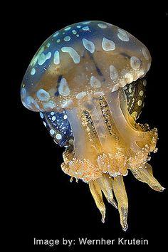 Spotted Jelly, (Mastigias papua)