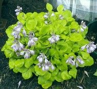 Flower Gardening Ladybug Hosta - 3 Inch Container - New Hampshire Hostas - Autumn actually has perfect planting weather for hostas. Take advantage of Fall's cool nights and warm days. Buy hostas and plant now. Diy Container Gardening, Colorful Plants, Modern Japanese Garden, Cottage Garden Plants, Flowers, Hostas, Backyard Landscaping, Container Gardening, Grasses Landscaping
