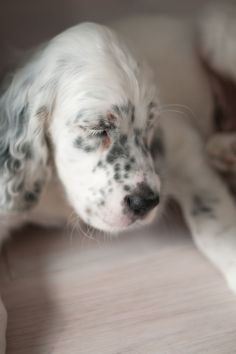 Trend, English setter puppy 9 weeks old... Loving, playing and enjoying
