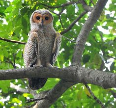 Spotted Wood Owl (Strix seloputo) juvenile. Photo by Johnny Wee.