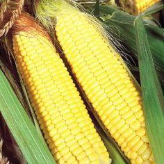 Zea mays 'Sundance' mais Sweet corn Maize Sweetcorn Care Plant Varieties & Pruning Advice Corn Maize, Sutton Seeds, Corn Plant, Farm Shop, Sweet Corn, Fruit And Veg, Dream Garden, Vegetable Garden, Potatoes