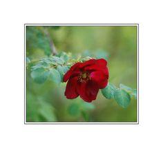 11 Shade Tolerant Roses: Hillierii