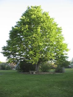 The Katsura tree (Cercidiphyllum japonicum) is a tree for all seasons. It's a tree with clean attractive foliage, interesting bark and unique Autumn scent.