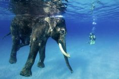 Rajan, the world's last and only ocean swimming elephant.