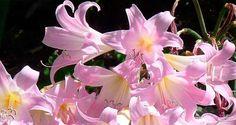 Amaryllis belladona o Azucena Rosa – Ficha de Cuidados y Reproducción - https://jardineriaplantasyflores.com/amaryllis-belladona-ficha-cuidados-reproduccion/