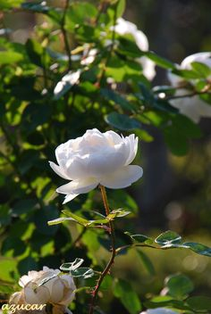 Tips for Gardening in your Backyard Flowers Nature, Exotic Flowers, Pretty Flowers, White Roses, White Flowers, Yellow Roses, Purple Flowers, Pink Roses, Beautiful Roses