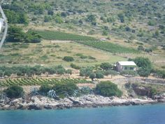 A Little plantation: inshore field of grapes.