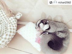 Cute pict by @richan2562 . Bobo ciaang  . #sugarglider