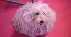 Cão da raça Puli posa para fotos após passar por sessão de beleza no primeiro dia do Crufts Dog Show, no Centro Nacional de Exposições em Birmingham, na Inglaterra (Reino Unido).
