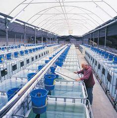 Pic Example Aquaponic farming techniques           Fish Farm Tank        Fish Tank Aqu...