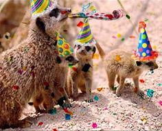 Party+Meerkats.jpg (717×581)