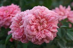 ~'Paul Noël' roses
