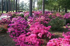 These are azaleas from the Augusta, GA area where I'm from. My Mom has a super green thumb and this is what our front yard looked like growing up. Her azaleas were just as pretty as this pic, if not prettier. I love azaleas! Azaleas Landscaping, Florida Landscaping, Landscaping With Rocks, Outdoor Landscaping, Front Yard Landscaping, Outdoor Gardens, Shade Landscaping, Japanese Garden Landscape, Front Garden Landscape