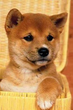 Perfect puppy shiba