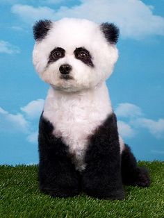 Extreme Animal Paint Jobs: If this giant panda looks too fluffy to be right, that's because this panda is a dog. Animal photographer Ren Netherland travels the United States photographing subjects at creative grooming conventions. MORE PICS: http://www.peoplepets.com/people/pets/gallery/0,,20620020,00.html#