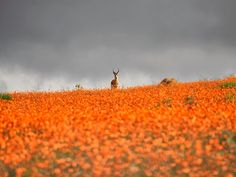 While Namaqualand is arid for most of the year, it comes alive for a short period during early springtime every year. During this time, the landscape becomes covered with orange and white daisies, along with a rainbow of other flowers, making it a temporary tourist attraction.