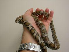 Milk - Eastern Snakes, Reptiles, Milk, A Snake, Snake