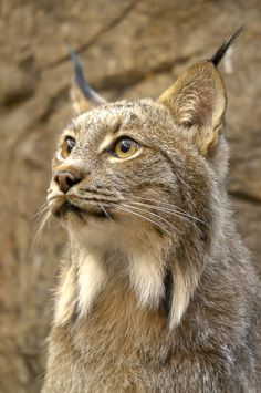 *Canadian Lynx (by Simon Bolyn)