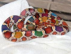 Top beautiful snakes on Earth Rainbow Corn, Rainbow Snake, Pretty Snakes, Beautiful Snakes, Cute Reptiles, Reptiles And Amphibians, Rare Animals, Animals And Pets, Beautiful Creatures