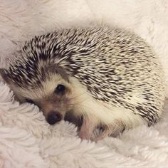 As far as pets go, it is the African pygmy hedgehog that is the most popular. These hedgehogs have a lifespan of around. Super Cute Animals, Cute Baby Animals, Animals And Pets, Funny Animals, Wild Animals, Cute Creatures, Beautiful Creatures, Animals Beautiful, Pygmy Hedgehog