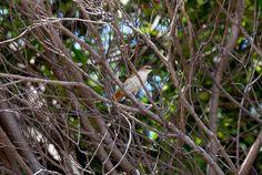 Foto curutié (Certhiaxis cinnamomeus) por Evaldo HS Nascimento | Wiki Aves - A Enciclopédia das Aves do Brasil