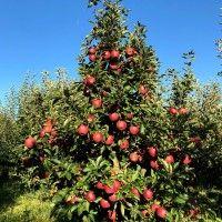 Good Morning Beautiful Flowers, Apple, Tudor, Facebook, Farmer, Green, Plant, Lawn And Garden, Apple Fruit