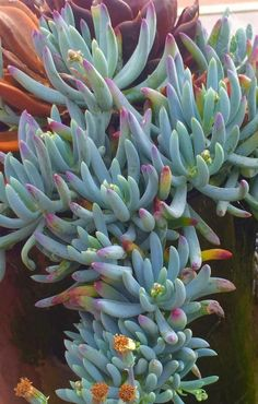 Senecio serpens commonly known as Dwarf Blue Chalk Sticks (by Belinda Jane Seery) Growing Succulents, Succulents In Containers, Cacti And Succulents, Planting Succulents, Cactus Plants, Garden Plants, Indoor Plants, Planting Flowers, Blue Plants
