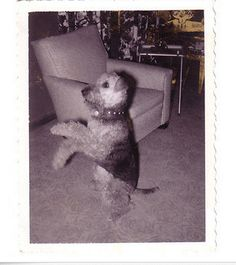 Airedale Terrier, standing. c. 1950's