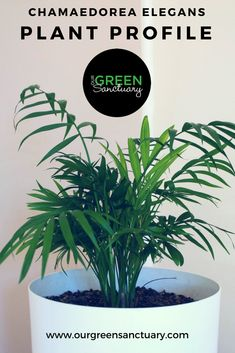 Meet the parlour palm: Chamaedorea elegans, it's the smallest indoor palm in my collection. For me, the parlour palm is simply adorable. Get the simple facts needed to keep parlour palms happy. Indoor Palms, Small Palms, Palm Plant, Parlour, House Plants, A Table, Meet, Facts, Goals